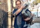 Rehabilitation manager Teresa Sepetauc rescues a brown pelican that got stuck on top of a cage at Pelican Harbor Seabird Stati