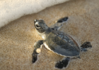 Last year was a bonanza for sea turtles. There were 86,870 loggerhead, 5,895 green turtle and 1,604 leatherback nests in 27 Florida counties.